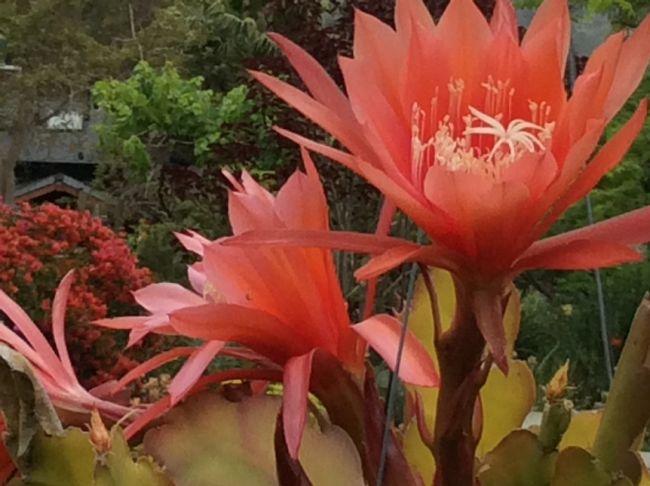 cactus flowe